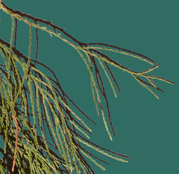Sequoia feuilles
