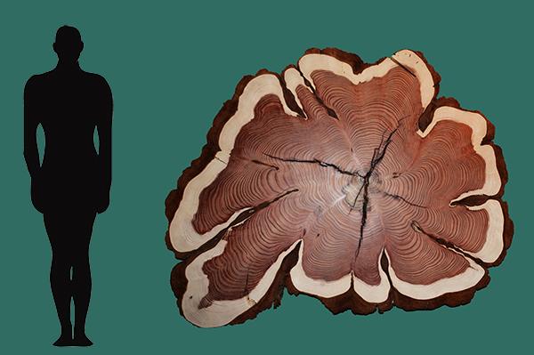 Sequoia ne01