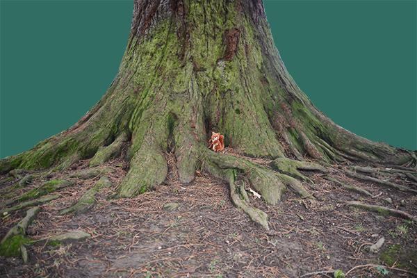 Sequoia souche 1